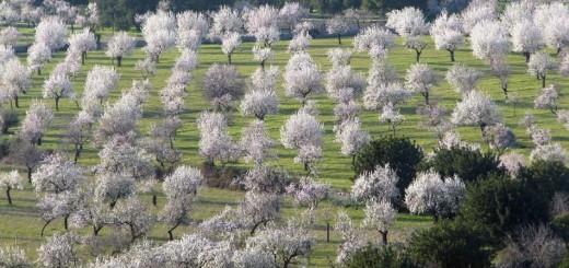 Migdolų medis